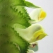 Orobanchaceae > Melampyrum cristatum - Mélampyre à crête