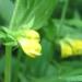Orobanchaceae > Melampyrum sylvaticum - Melampyre des bois