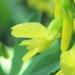 Fabaceae > Melilotus officinalis - Mélilot officinal