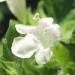 Lamiaceae > Melissa officinalis - Mélisse officinale