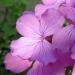 Brassicaceae > Lunaria annua - Monnaie du pape