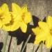 Amaryllidaceae > Narcissus pseudonarcissus - Narcisse jaune