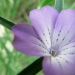 Caryophyllaceae > Agrostemma githago - Nielle des blés
