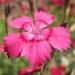 Caryophyllaceae > Dianthus deltoides - Oeillet à delta