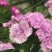 Caryophyllaceae > Dianthus barbatus - Oeillet barbu