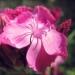 Caryophyllaceae > Dianthus carthusianorum - Oeillet des chartreux
