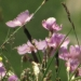 Caryophyllaceae > Dianthus sylvestris - Oeillet des rochers
