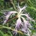Caryophyllaceae > Dianthus superbus - Oeillet superbe