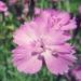 Caryophyllaceae > Dianthus gratianopolitanus - Oeillets de Grenoble