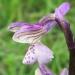 Orchidaceae > Anacamptis morio - Orchis bouffon