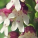 Orchidaceae > Orchis ustulata - Orchis brûlé