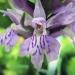 Orchidaceae > Dactylorhiza fuchsii - Orchis de Fuchs