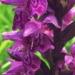 Orchidaceae > Dactylorhiza majalis - Orchis de mai