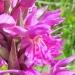 Orchidaceae > Dactylorhiza maculata subsp. savogiensis - Orchis de savoie