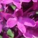 Orchidaceae > Anacamptis pyramidalis var. tanayensis - Orchis de Tanay