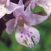 Orchidaceae > Traunsteinera globosa - Orchis globuleux