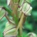Orchidaceae > Orchis anthropophora - Orchis homme-pendu