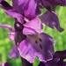 Orchidaceae > Orchis mascula - Orchis mâle