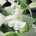 Orchidaceae > Gymnadenia conopsea - Orchis moucheron blanc