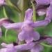 Orchidaceae > Gymnadenia conopsea - Orchis moucheron