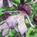 Orchidaceae > Orchis purpurea - Orchis pourpre