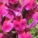 Orchidaceae > Dactylorhiza sambucina - Orchis sureau