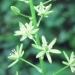 Liliaceae > Ornithogalum pyrenaicum - Ornithogale des Pyrénées