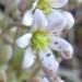 Crassulaceae > Sedum dasyphyllum - Orpin à feuilles épaisses