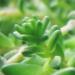 Crassulaceae > Sedum acre - Orpin âcre
