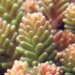 Crassulaceae > Sedum sexangulare - Orpin doux