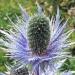 Apiaceae > Eryngium alpinum - Panicaut des Alpes