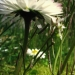 Asteraceae > Bellis perennis - Pâquerette