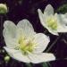 Parnassiaceae > Parnassia palustris - Parnassie des marais