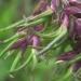 Poaceae > Poa alpina var vivipara - Pâturin des alpes vivipare