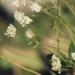 Apiaceae > Astrantia minor - petite Astrance