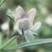 Scrophulariaceae > Chaenorrhinum minus - petite Linaire