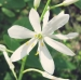 Asparagaceae > Anthericum liliago - Phalangère à fleurs de lis