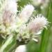 Asteraceae > Antennaria dioica - Pied-de-chat dioique