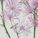 Ranunculaceae > Thalictrum aquilegiifolium - Pigamon à feuilles d'Ancolie