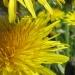 Asteraceae > Taraxacum officinale - Pissenlit