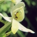 Orchidaceae > Platanthera bifolia - Platanthère à deux feuilles