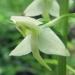 Orchidaceae > Platanthera chlorantha - Platanthère à fleurs verdâtres