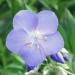 Polemoniaceae > Polemonium caeruleum - Polémoine bleue