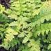 Dryopteridaceae > Polystichum aculeatum - Polystic à aiguillons