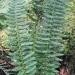 Dryopteridaceae > Polystichum x illyricum - Polystic d'Illyrie