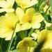 Primulaceae > Primula eliator - Primevère élevée