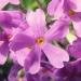 Primulaceae > Primula farinosa - Primevère farineuse