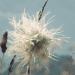 Ranunculaceae > Pulsatilla alpina - Pulsatille des alpes