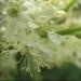 Rosaceae > Filipendula ulmaria - Reine des prés
