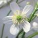 Ranunculaceae > Ranunculus aconitifolius - Renoncule à feuilles d'aconit